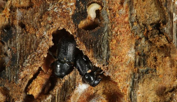 Saskatchewan and Alberta renew agreement to combat Mountain Pine Beetle